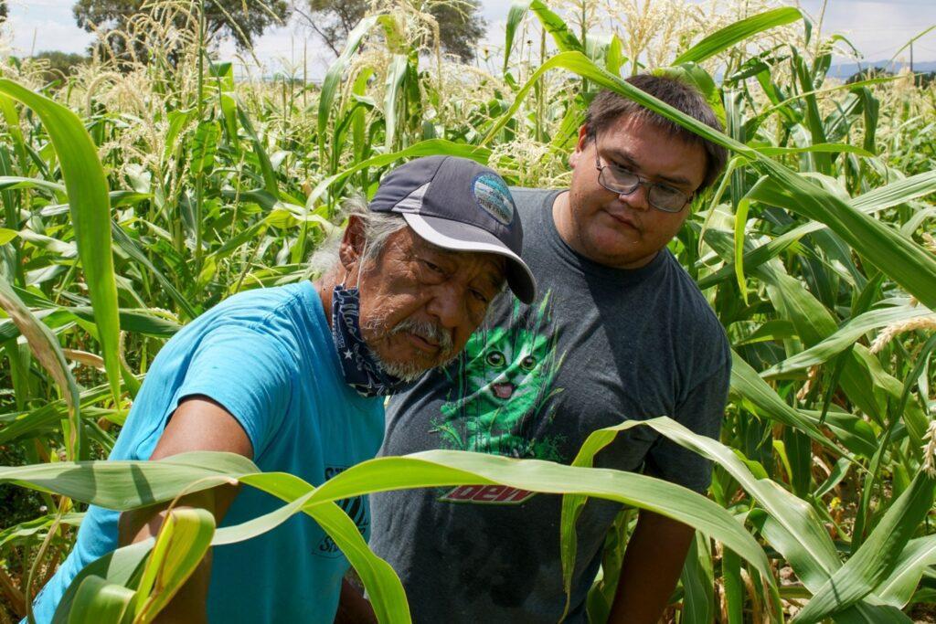 Joe Ben, director of Ben Farms, shows Stephen Hoski how to harvest traditional Navajo white corn, in Shiprock.