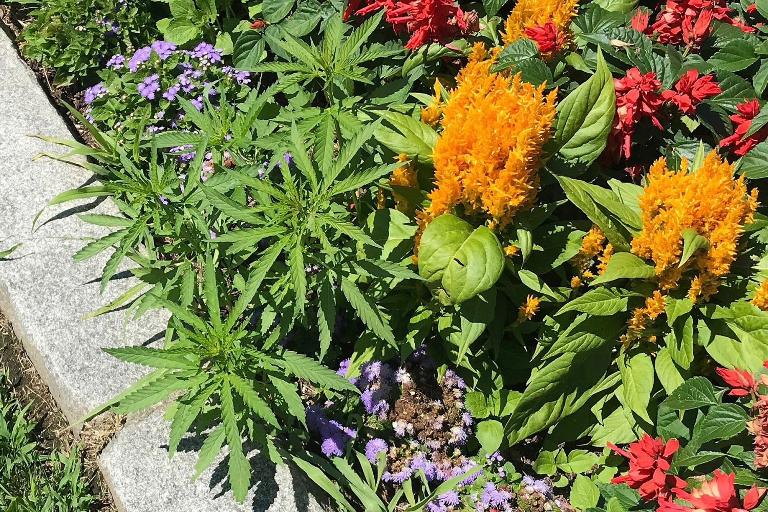 This photo released Friday, July 12, 2019, by the Vermont Capitol Police shows cannabis plants, left, growing on the grounds of the Statehouse in Montpelier, Vt. Police said they found a total of 34 plants during the week among the cultivated flowers that line the walkway in front of the building, but it hadn't been confirmed if the immature plants were marijuana or hemp. (Matthew Romei/Vermont Capitol Police via AP) .